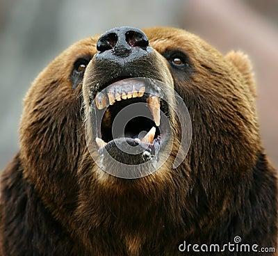 Enraged brown bear