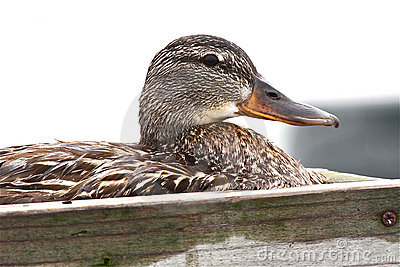 Ente auf ihrem Nest