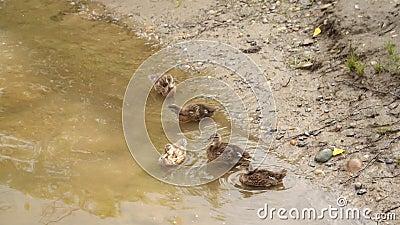 Ente mit einer Brut von Entlein im seichten Wasser Enten auf dem Teich nahe den sauberen Federn des Ufers Zeitlupe, volles HD stock footage