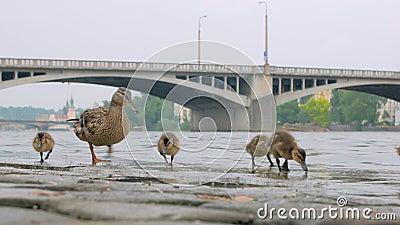 Ente und Brut von Entlein ist Trinkwasser und Fütterung auf Steinkai in der Stadt am Sommertag stock video