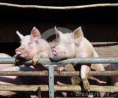 Enthousiastic pigs