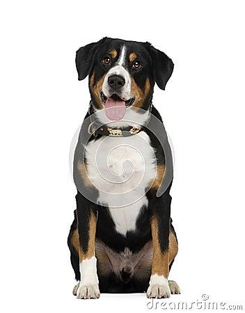 Free Entlebucher Mountain Dog () Stock Photography - 6854202