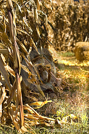 Entrance To Corn Maze Royalty Free Stock Photo - Image: 11209295