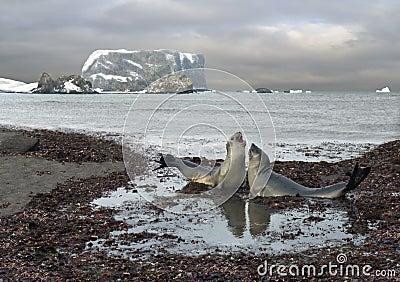 Entretien des éléphants de mer