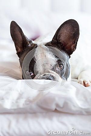 Entzückender Welpe der französischen Bulldogge