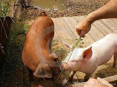 environment Feeding pigs organically