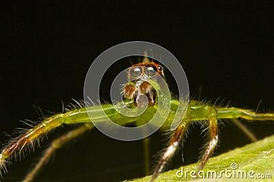 Epeus jumping spider, macro shot