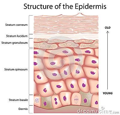 Epiderme da pele