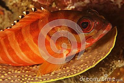 Epinephelus fasciatus - Blacktip grouper