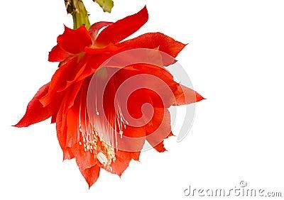 Epiphyllum, orchid cacti
