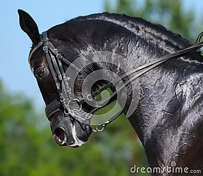 Equestre - retrato do cavalo do preto do dressage