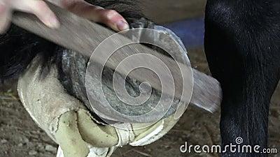 Equine farrier на работе на копыте лошадей акции видеоматериалы