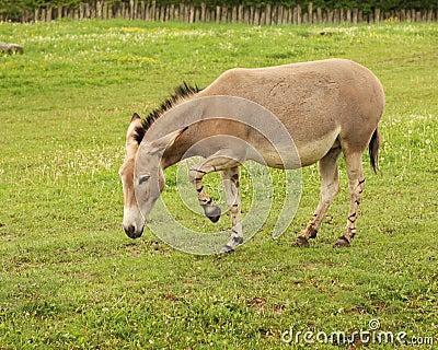 Equus africanus somalicus