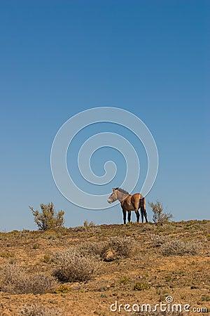 Equus ferus przewalskii wild horse
