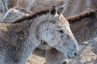 Equus hemionus