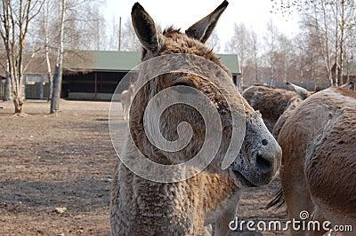 Equus hemionus in zoo