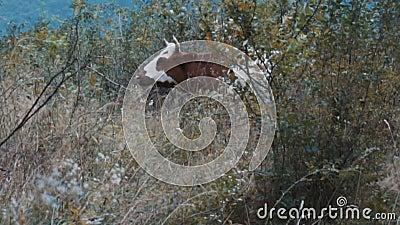 Erba da masticare per mucca in polvere archivi video