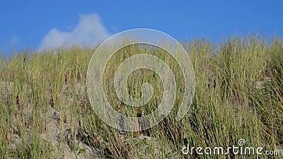 Erba della spiaggia, delle dune con i cumuli e cielo blu archivi video