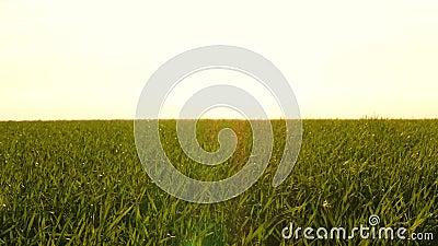 Erba verde succosa sul campo contro il tramonto Il vento soffia le lame d'erba Agricoltura, agroindustria e stock footage