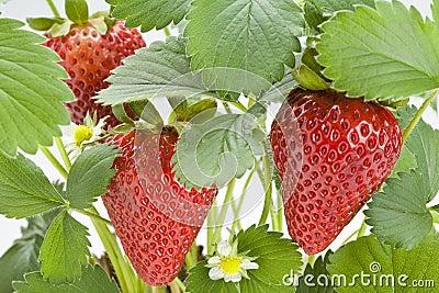 Erdbeere-Anlage