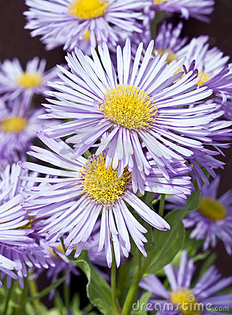 Lavender-blue coloured flowers in bloom