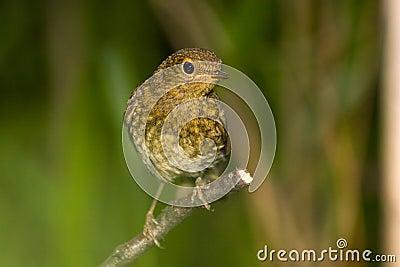 Erithacus rubecula, Robin