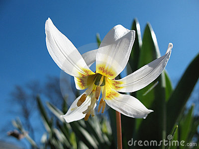 Eritronium (Erythronium sibiricum), lily family