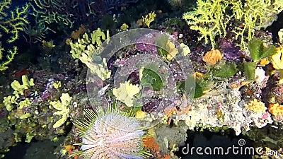 Erizo de mar grande del melón - melo del echinus en el filón mediterráneo almacen de metraje de vídeo