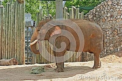 Erwachsene Elefanten