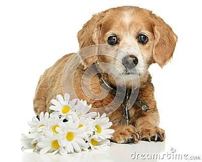 Erwachsener Cockapoo Hund