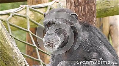 Erwachsener Schimpanse stock video footage