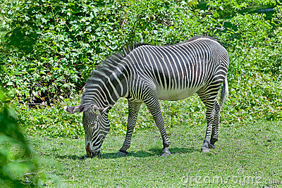 Erwachsener Zebra
