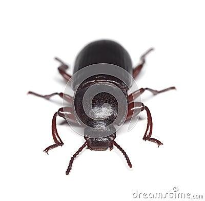 Escarabajo de harina (destructor del tribolio)
