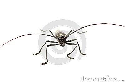 Escarabajo del Capricornio