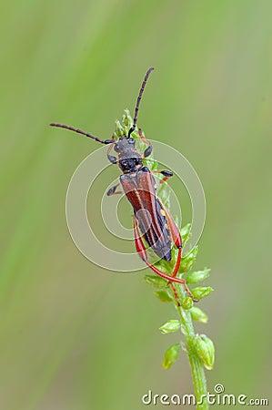 Escarabajo del fonolocalizador de bocinas grandes
