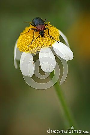 Escarabajo en la flor