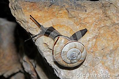 Escargot noir sur la roche calcaire photo stock image for Calcaire sur carrelage noir