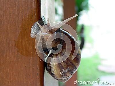 Escargot snail