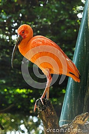 Escarlate de ibis