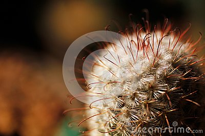 Escobaria nipple cactus with long and short spines