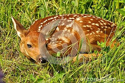 Esconder Branco-atado da jovem corça dos cervos