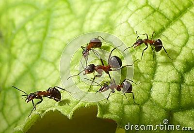 Escort of ants