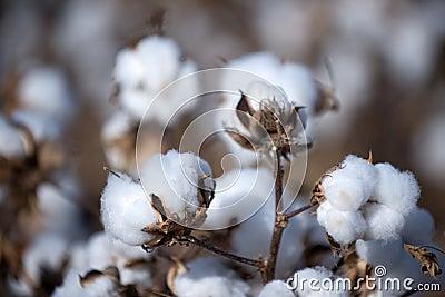 Esfera de algodão
