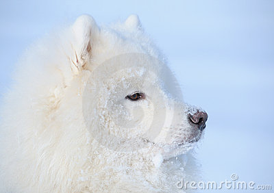 Eskimo dog is buried under snow