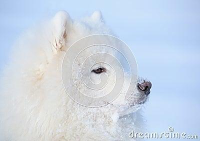 Eskimo dog is buried under snow
