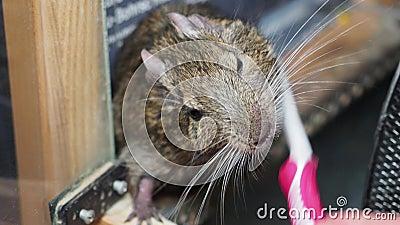 Esmagamento de degu roedor ou esquilo chileno com escova de dentes video estoque