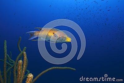 Espagnol de rufus de hogfish de bodianus