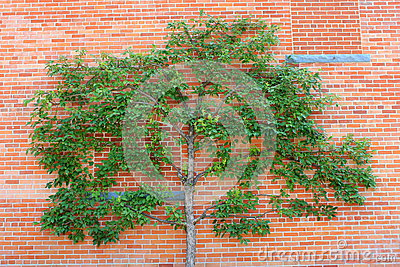 Espalier tree and red brick wall