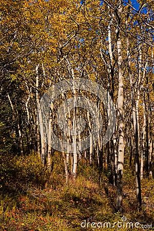 Espen forest in fall