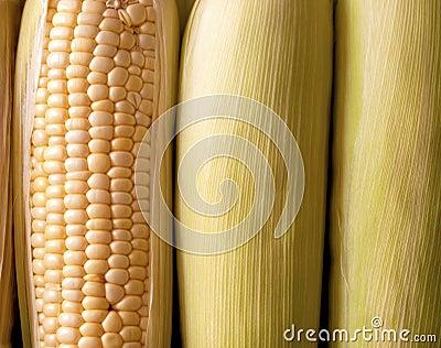 Espigas do milho fresco de Orgnic